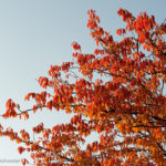 Bildvorstellung: Red Leaves