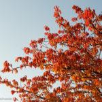 Bildvorstellung: Red Leaves